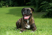 Happy boxer dog resting on grass — Stock Photo