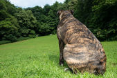 Brindle boxer sitting facing away from the camera — Stock Photo