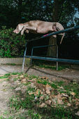 Weimaraner jumping a high barrier in a park — Stockfoto
