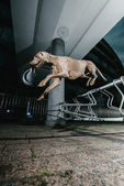 Weimaraner dog jumping mid air — Stock Photo
