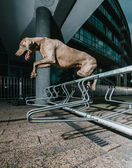 Weimaraner jumping a metal railing — Stock Photo