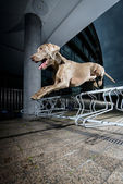 Weimaraner jumping a metal obstacle — Stock Photo