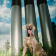Happy Weimaraner posing outdoors — Stock Photo #19424077