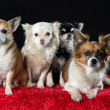 Stock Photo: Four chihuahua dogs