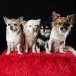 Four chihuahua dogs — Stock Photo