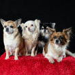 Four chihuahua dogs — Stock Photo #21506277