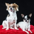Stock Photo: Portrait of two alert tricolour chihuahuas