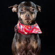 Chihuahua in a decorative red bib — Stock Photo