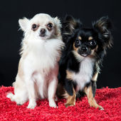 Two pretty little Chihuahua dogs — Stock Photo