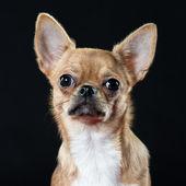 Headshot of an alert Chihuahua — Stock Photo