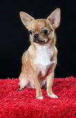 Cute male Chihuahua dog — Stock Photo