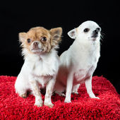 Portrait of two small chihuahua dogs — Stock Photo