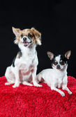 Portrait of two alert tricolour chihuahuas — Stock Photo