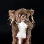 Pretty little dark brown chihuahua — Stock Photo