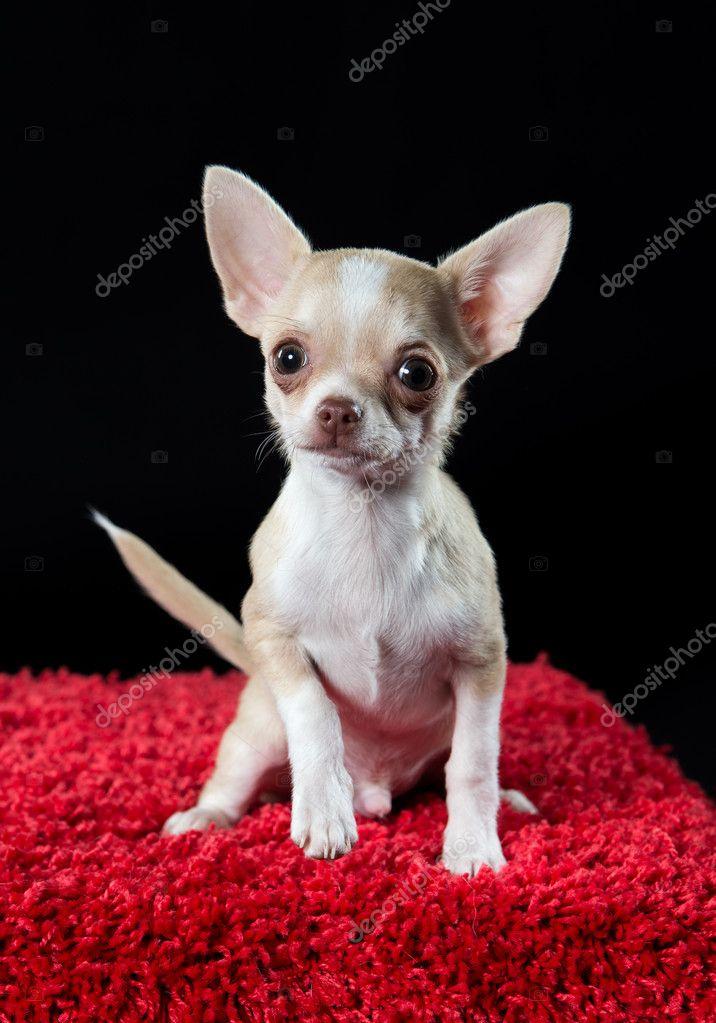 可爱的年轻的吉娃娃小狗