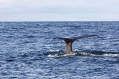 The fluke of Sperm whale as it begins a dive into the North Atla — Stock Photo