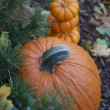 Pumpkins in the fall garden — Stockfoto #32916427
