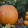 Pumpkins in the fall garden — Stock fotografie