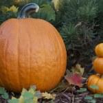 calabazas en el jardín de otoño — Foto de Stock