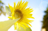 Sunflower in the sunshine — Stock Photo