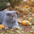Cat and pumpkins in the fall farm garden — Stock Photo