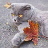 A funny cat showing its tongue with fall autumn leaves, waiting for Halloween party — Stock Photo