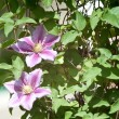 Stock Photo: Clematis flowers