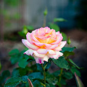 Rose bud — Stockfoto