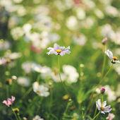 Feld camomiles auf einem sommer-feld — Stockfoto
