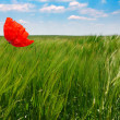 Poppy in a wheat field — Stock Photo