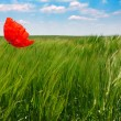 Poppy in a wheat field - Stock Photo