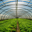 Stock Photo: Greenhouse for the cultivation of salad
