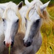 Camargue horses couple hugging himself - Stock Photo