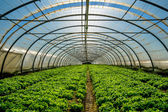 Greenhouse for the cultivation of salad — Stock Photo