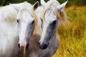 Camargue horses couple hugging himself — Stock Photo
