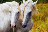 Camargue horses couple hugging himself — Stock Photo