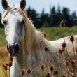 Horse wild of camargue — Stock Photo #21050571