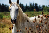 Horse wild of camargue — Stock Photo