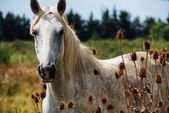 Horse wild of camargue — Stock Photo