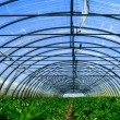 Stock Photo: Inside view of one greenhouse where grows celery