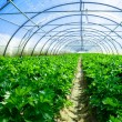 Stock Photo: Inside view of greenhouse where grows celery