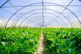 Interior of Greenhouse for celery cultivation — Stock Photo