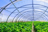 Celery culture in a greenhouse — Stock Photo