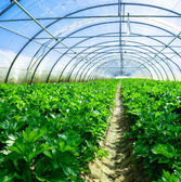 Inside view of an greenhouse where grows celery — Stock Photo