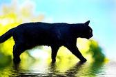 черная кошка в watter — Стоковое фото