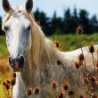 Portrait of horse wild in camargue french Region — Stock Photo