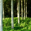 Beautiful glade with large birches in french forest — Stock Photo
