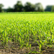 Green field with young corn — Stock Photo