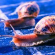 Stock Photo: Finish of racing snails