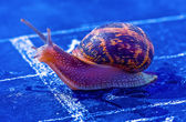 Snail crosses the finish line as winner — Stock Photo